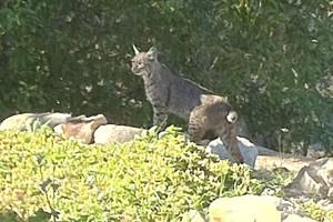 Bobcat in sun