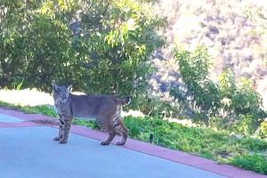 Bobcat outside 1
