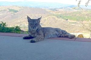 Bobcat resting in window