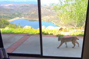 Bobcat Visit Heaven 3-3-14