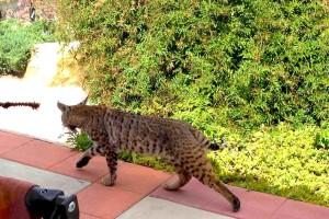 Bobcat visit 3-27-14