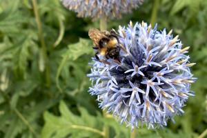 Bee on Violet Flower L Kald